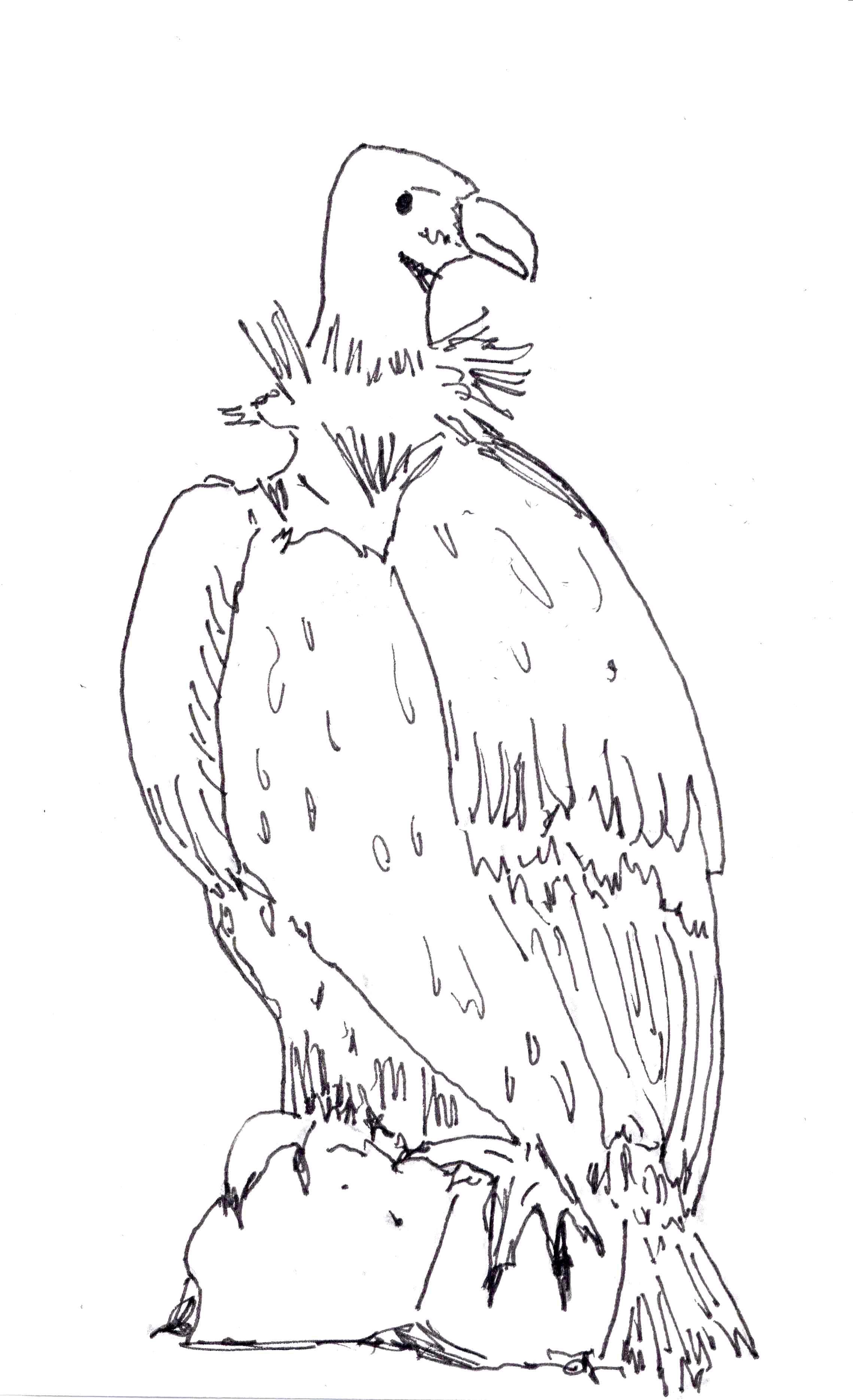 Eurasian Griffon Condor