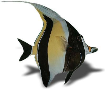 Clown fish for Moorish idol fish